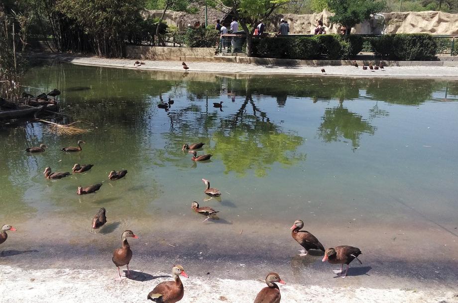 Reportan muerte de una cebra recién nacida y cinco patos