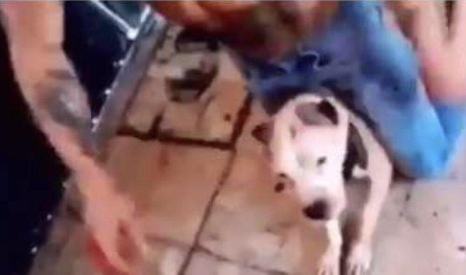 Procuraduría capitalina va tras agresor de perra pitbull