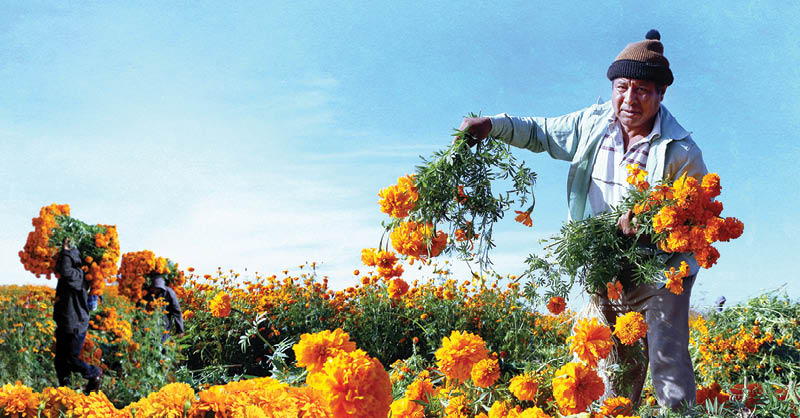 El cultivo del cempasúchil se ha convertido en orgullo e identidad para el pueblo originario de Zapototlán
