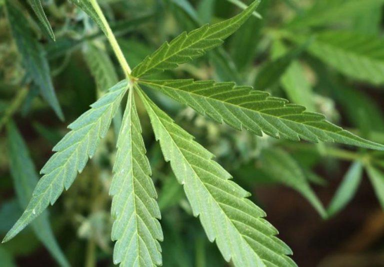 Gobierno de AMLO publica finalmente reglamento para uso de cannabis medicinal
