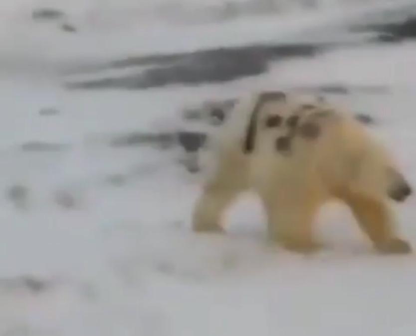 Vida de oso polar corre peligro por pinta sobre su espalda (VIDEO)