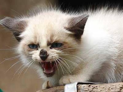Gato atemoriza a su dueña y la mantiene atrapada en la cocina por 2 días