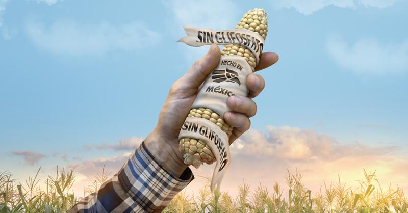 Con la prohibición del maíz transgénico y del glifosato