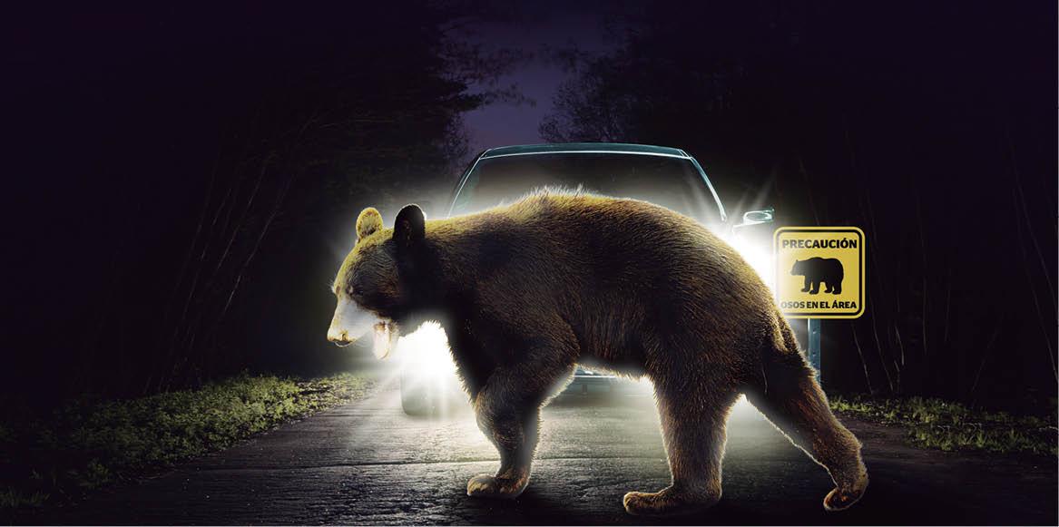 Las carreteras de Nuevo León se han convertido en un peligro para el oso negro americano