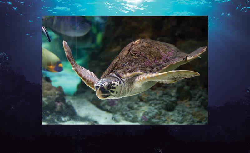 Desde su viaje que comienza en Japón, la tortuga caguama recorre muchos países, sin embargo, México es el más peligro para estos animales.