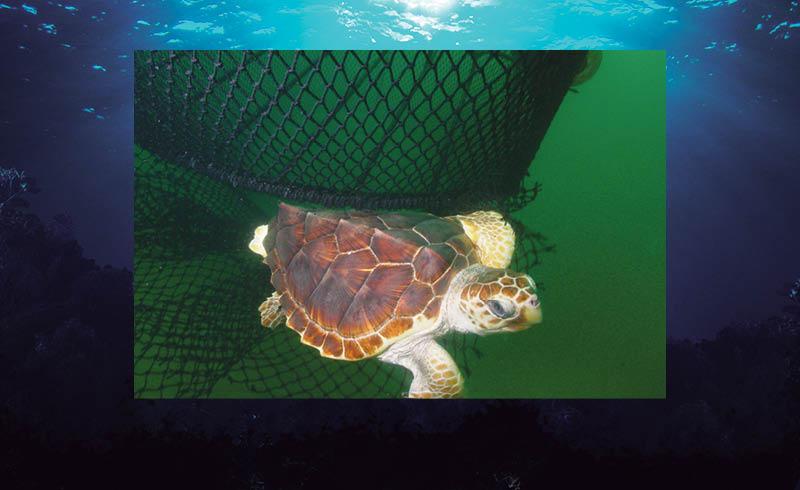 México está en la mira de Estados Unidos y de Canadá por no cumplir con su legislación ambiental para proteger a la tortuga caguama