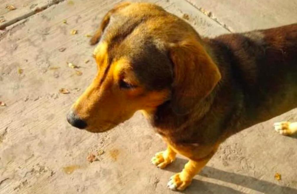 "Sujeto asesina a perrito con machete en Sinaloa; exigen justicia para ""Rodolfo Corazón"""