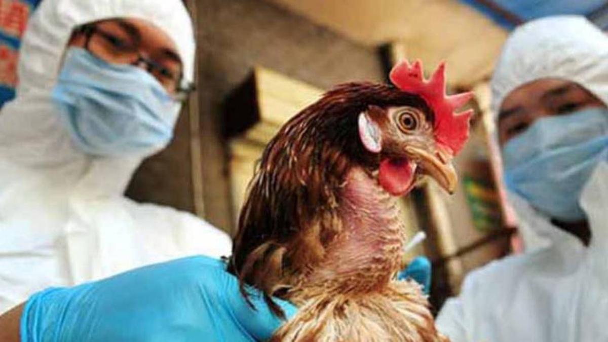 pandemia-gripe-aviar