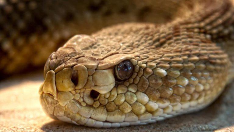Científicos decubren sustancia capaz de impedir la reproducción del COVID-19 en veneno de serpiente